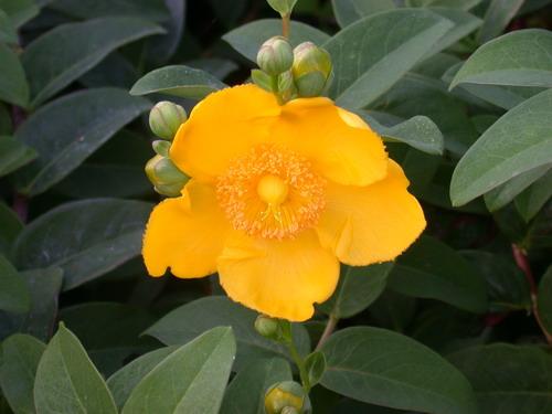 iperico fiore