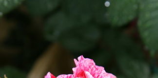 2012/05/rosa_ridimensionare_f6fac50d.jpg