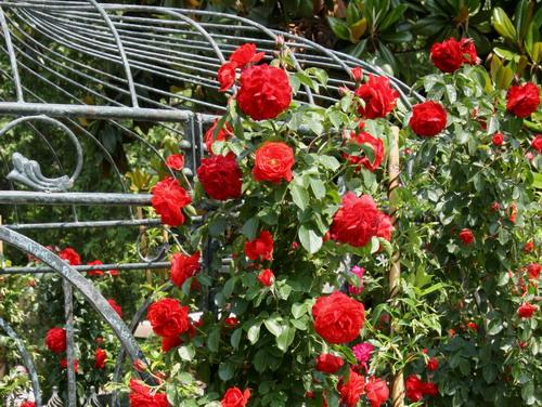 rose rosse basso impatto ambientale