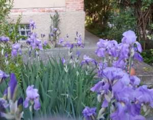 piante shabby chic iris pallida