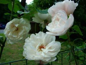 piante shabby chic rosa the generous gardener