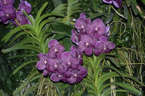 2012/06/orchidea_vanda_fb0c2e26.jpg
