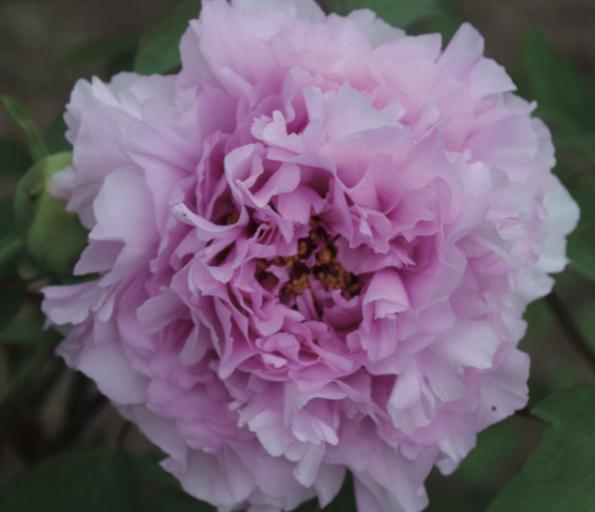 piante shabby chic peonia fiore
