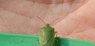 La comune cimice verde (Nezera viridula).