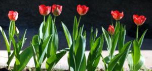 2012/07/tulipani_rossi_e4df4f3a.jpg