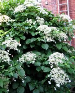 piante simili Hydrangea petiolaris