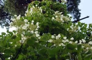 piante simili Schizophragma hydrangeoides