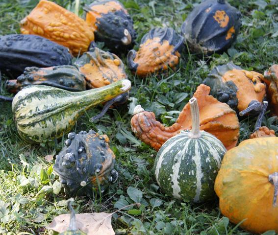 Zucca Di Halloween Quando Seminare.Tutto Sulla Coltivazione Della Zucca Passione In Verde