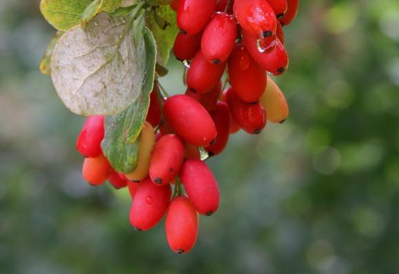 berberis bacche