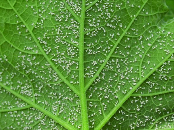 2012/12/aleurodidi_mosca-bianca_5b1df053.jpg
