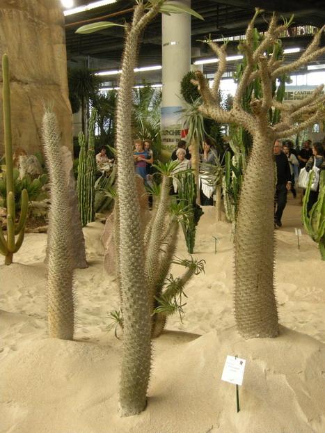 palma-del-madagascar pachypodium