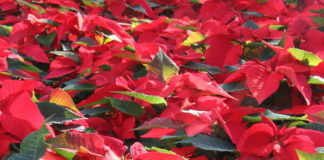 2012/12/piante-di-natale-stelle_8c1549fb.jpg