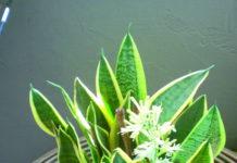 sansevieria fiore