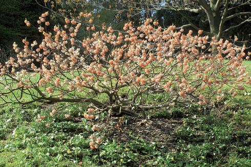 edgeworthia-fiorita_f656b4c8.JPG
