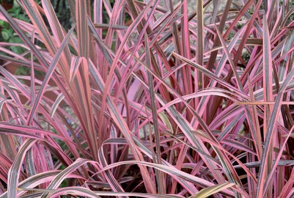 foglie variegate phormium
