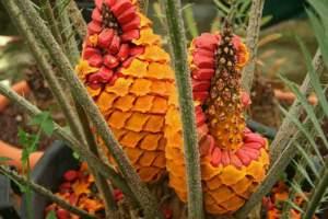 Encephalartos villosum