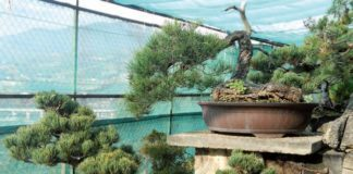 2013/02/conifere_bonsai_f1b7d1a4.JPG