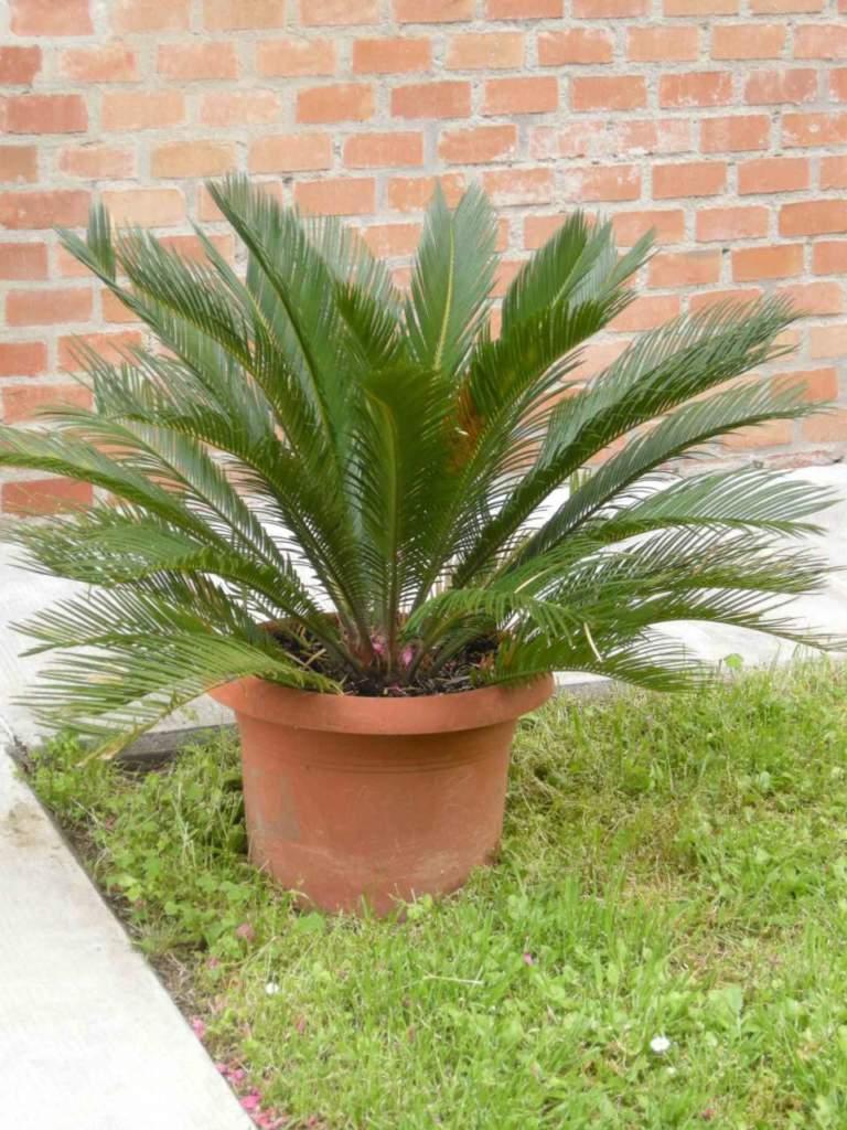 Palme Da Vaso Per Esterno tutti i segreti della cycas e piante simili - passione in verde