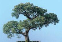 ginepro cinese bonsai