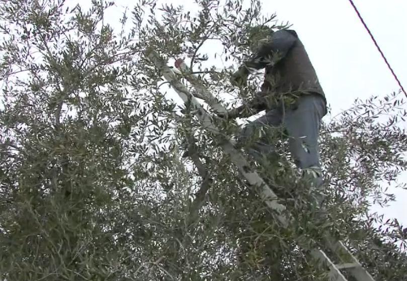 Calendario Potatura Piante.La Potatura Dell Olivo Nel Periodo Invernale Passione In Verde