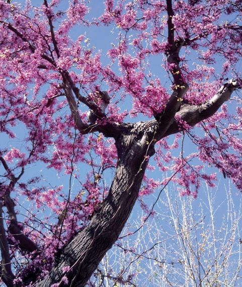 albero_di_giuda piantare albero