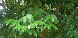 cinnamomum zeylanicum cannella