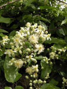 piante pioniere clematis vitalba