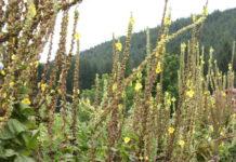 tasso barbasco fiori