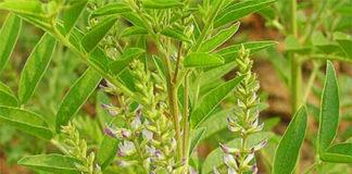 Glycyrrhiza liquirizia