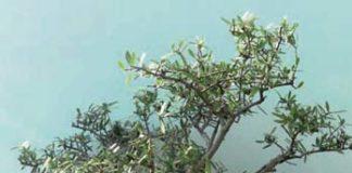 2013/06/bonsai_olivo_c1d4c4fd_1fb03f4e.jpg