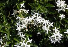 jasminum_officinale7