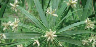 papiro testa fiorita