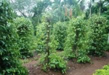 pepe pianta