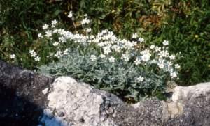 cerastium tomentosum piante resistenti al sole