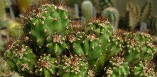 cereus-peruvianus-cactus_dcefaa9c.jpg