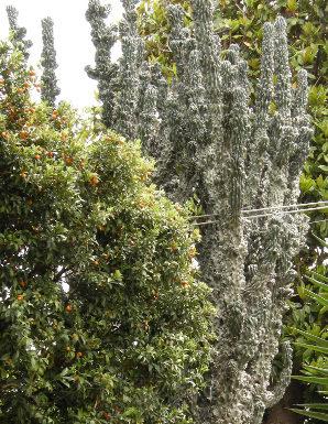 2013/09/coltivazione_cactus_cereus_9452ee7d.JPG