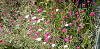 lychnis piante resistenti al sole