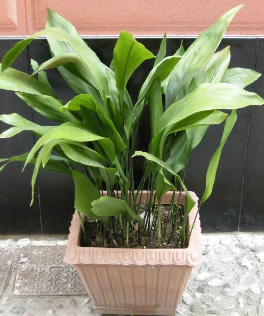 Piante Da Appartamento Ambiente Buio aspidistra, indistruttibile pianta d'appartamento (e non