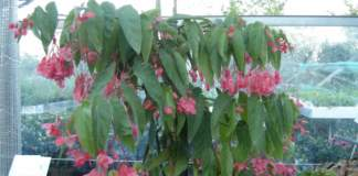 begonia_corallina_tamaya