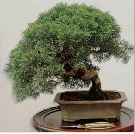 bonsai pino ginepro