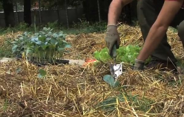 consociazione piantagione ortaggi