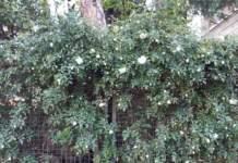 rose rampicanti alberic barbier