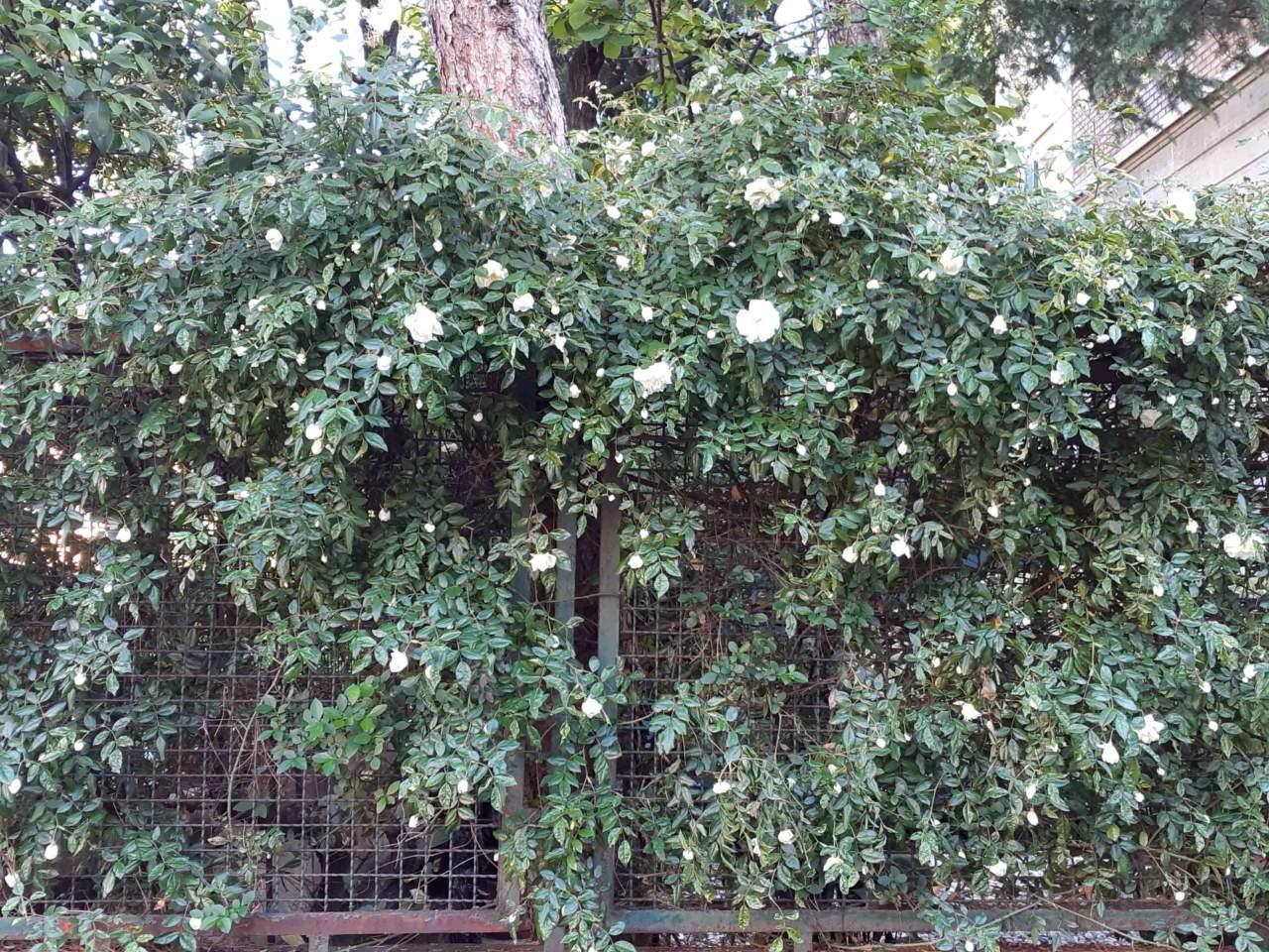 Rosa Rampicante In Vaso rose rampicanti, quali scegliere? - passione in verde