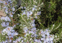 rosmarinus rosmarino fiorito