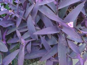 setcreasea_purpurea