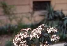 laurotino fiori