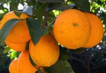 arancio Biondo_Comune_2463d0ae.jpg