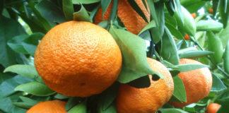clementine citrus_a0cdc67f.jpg