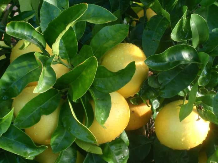 pompelmo citrus paradisi