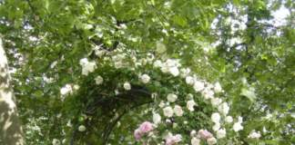 rose_berceaux rampicanti